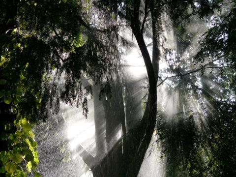 Sonnenstrahlen im beregneten Rhododendronwald, Botanischer Garten München