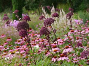 Echinacea purpurea 'Magnus', Angelica gigas, Moorriem