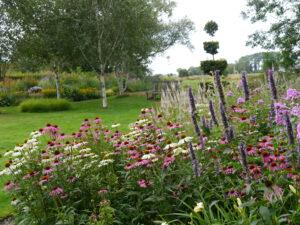 Echinacea purpurea Garten Moorriem