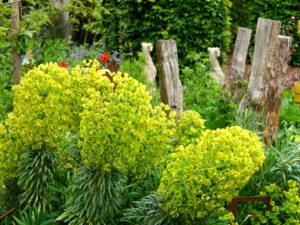 Rickelpfähle und Euphorbia characias orientalis im Garten Erna de Wolff