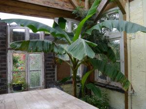 Bananenstaude im Garten Erna de Wolff
