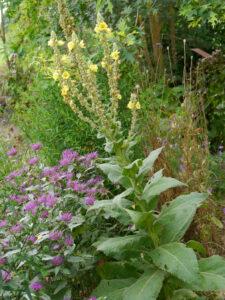 Verbascum, Garten Erna de Wolff