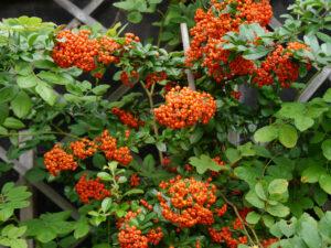 Pyracantha 'Orange Glow', Garten Erna de Wolff