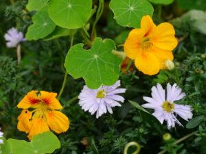 Tropaeolum majus, Kapuzinerkresse,mit Herbstaster, Garten Erna de Wolff