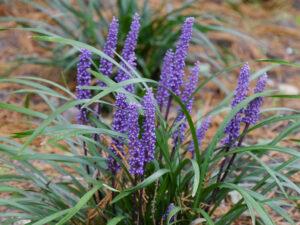 Liriope muscari 'Big Blue', Garten Erna de Wolff
