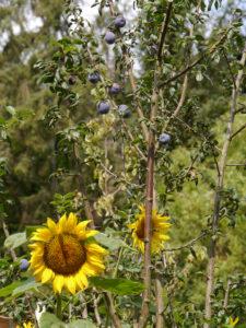 Sonnenblumen und reife Zwetschgen im Garten Erna de Wolff