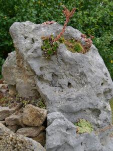 Sempervivum auf Stein gepflanzt im Eingangsbereich des Hortus Insectorum