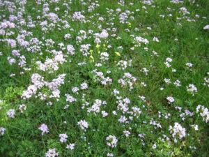 Blumenwiese mit Cardamine pratensis, Wiesenschaumkraut, April, München