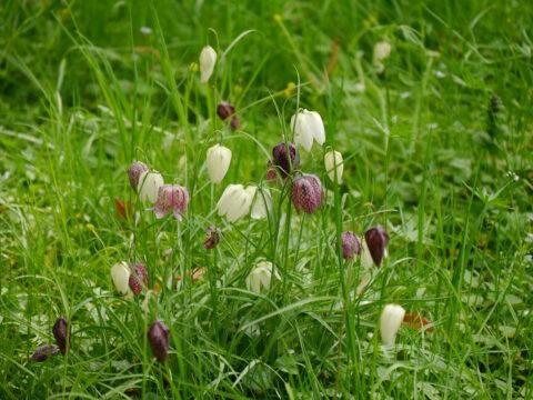 Fritillaria meleagris und Fritillaria meleagris 'Alba' in Wurzerlsgarten