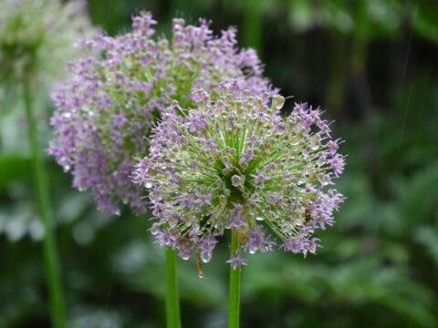 Allium - macht rundum glücklich !