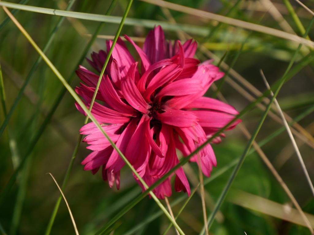 Echinacea x purpurea 'Blackberry 'Truffle' Wurzerlsgarten
