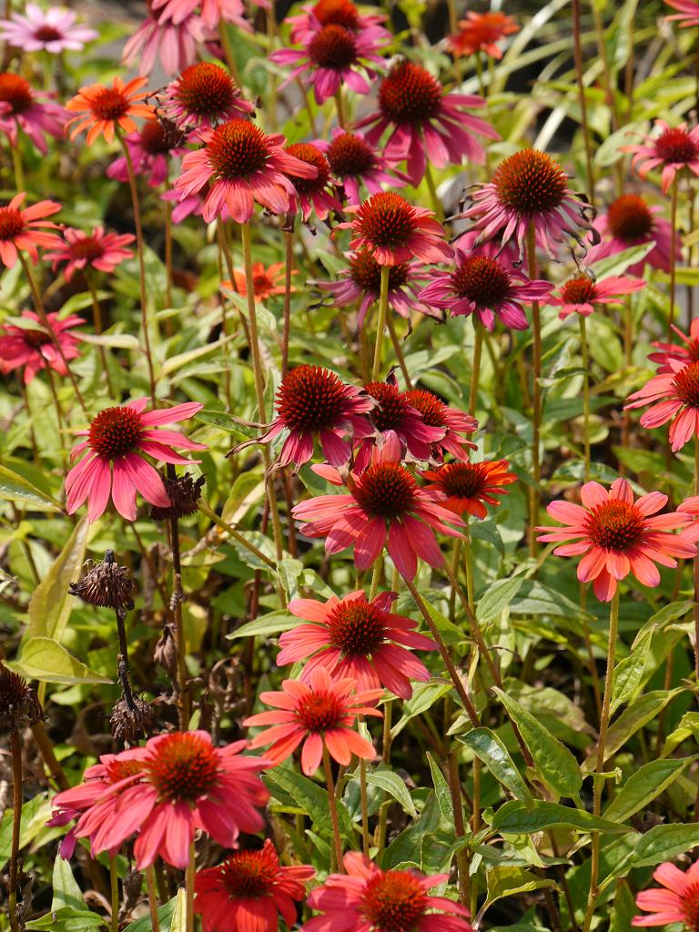 Echinacea purpurea 'Cheyenne Spirit' Wurzerlsgarten