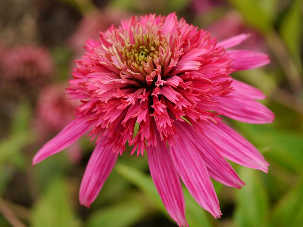 Echinacea purpurea 'Cotton Candy', Wurzerlsgarten