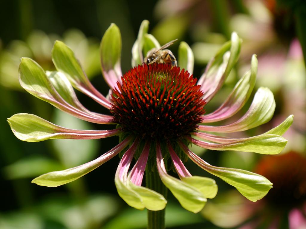 Echinacea 'Green Envy', Scheinsonnenhut in Wurzerlsgarten