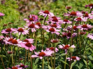 Echinacea 'Little Magnus', Scheinsonnenhut, Wurzerlsgarten
