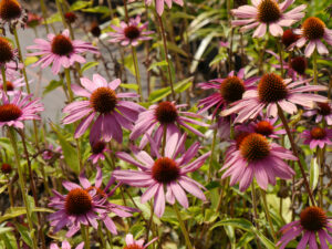 Echinacea ''Prairie Splendor Deep Rose', Scheinsonnenhut, Wurzerlsgarten