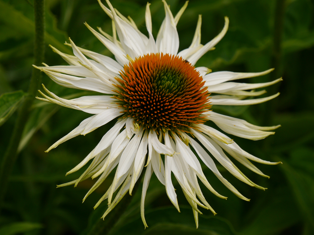 Echinacea 'Schamane', Scheinsonnenhut, Bäuerleins Grüne Stube