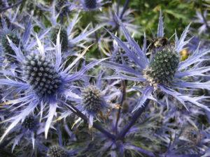 Eryngium alpinum 'Blue Star' Wurzerlsgarten
