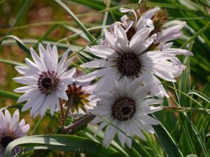 Berkheya purpurea, Purpurdistel, Wurzerlsgarten