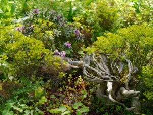 Euphorbia cyparissias  'Fens Ruby'.  Zypressen Wolfsmilch in Wurzerlsgarten