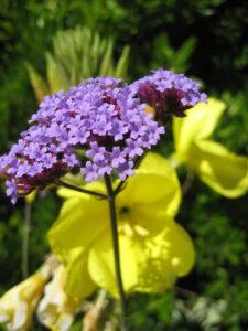 Verbena bonariensis vor Oenothera in Wurzerlsgarten
