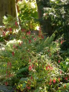 Schattenbereich mit Fuchsia magellanica, Schaugarten Staudengärtnerei Extragrün