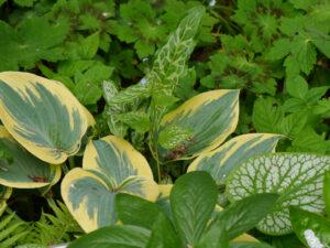 Blattschönheiten  im Schaugarten der Staudengärtnerei Extragrün