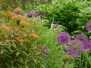 Euphorbia 'Fireglow' und hohe Allium im Schaugarten der Staudengärtnerei Extragrün