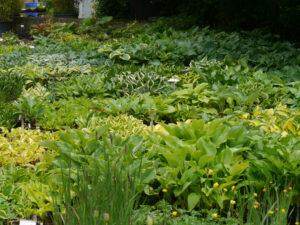 Hostas sind ein Schwerpunkt der Staudengärtnerei Extragrün