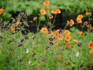Geranium phaeum vor Geum 'Totally Tangerine' in der Staudengärtnerei Extragrün