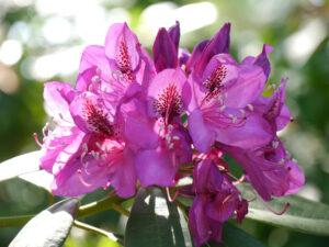 Rhododendron im Park der Gärten, Bad Zwischenahn