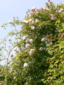 """""""RosenZeiten im Garten"""", Park der Gärten, Bad Zwischenahn"""