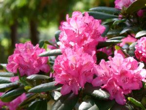 Rhododendron 'Rosselini', Park der Gärten, Bad Zwischenahn