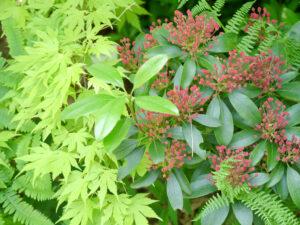 Acer palmatum 'Orange Dream', Kalmia latifolia 'Ostbo Red', Park der Gärten, Bad Zwischenahn