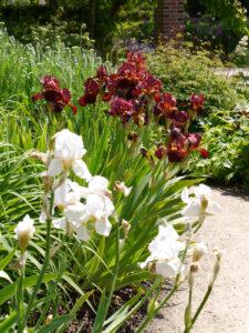 Bart-Iris-Anpflanzung im Park der Gärten, Bad Zwischenahn