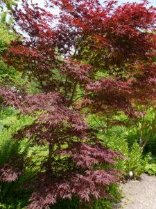 Acer palmatum 'Sherwood Flame', Japanischer Fächerahorn, Ahorntal im Park der Gärten, Bad Zwischenahn