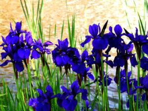 Iris sibirica 'Caesar', Park der Gärten, Bad Zwischenahn