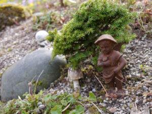 Tsuga mertensiana 'Glauca Nana', Hexenbesen in Wurzerlsgarten