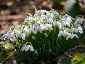 Einige Tuffs von Galanthus nivalis 'Flore Pleno' erscheinen in der Wiese in Wurzerlsgarten.