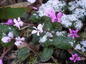 Die tapferen Cyclamen coum schütteln den Schnee einfach ab und blühen weiter in Wurzerlsgarten
