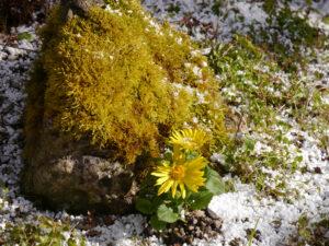Doronicum orientale 'Magnificum', die Gämswurz im Steingarten von Wurzerlsgarten