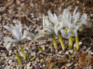 Iris histroides 'Frank Elder im Steingarten von Wurzerlsgarten