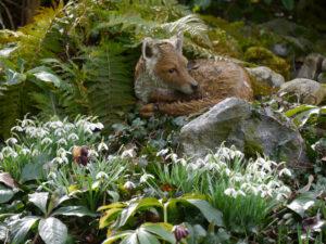 Galanthus nivalis, einfache Schneeglöckchen mit dem Fuchs an der Bachquelle in Wurzerlsgarten