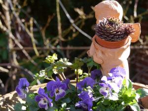 Viola cornuta und Sempervivum in Wurzerlsgarten