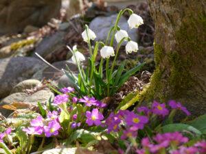 Leucojum vernum, Frühlingsknotenblume und Primula vulgaris, Kissenprimel fühlen sich unter dem japanischen Fächerahorn wohl.