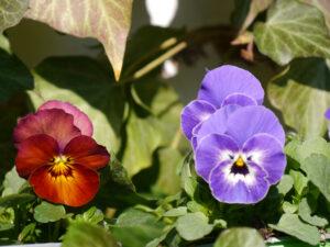 Viola cornuta, Hornveilchen in Wurzerlsgarten