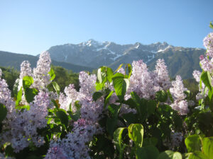 Auch in Südtirol blüht der Flieder im Mai, Trauttmansdorffer Gärten