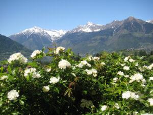 Die weißen Rosen spiegeln die Schneereste der Südtiroler Gebirgsgipfel wider, Trauttmansdorffer Gärten, Meran