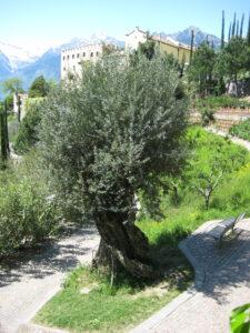 Olea europaea, Olivenbaum, 700 Jahre alt, im Park der Gärten