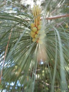 Pinus wallichiana, Tränen-Kiefer, in den Gärten von Schloss Trauttmansdorff, Meran